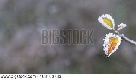 Dark Yellow Leaves In Frost On Early Winter Morning. Tree Branch Covered With Hoar. Cold Weather And