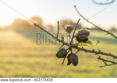 Close-up Of An Almond Branch (prunus Amygdalus) With Almonds In A Field On The Island Of Mallorca At