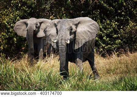 Two Female Elephants At The Warning Positions, African Elephant (loxodonta Africana). Two Large Elep