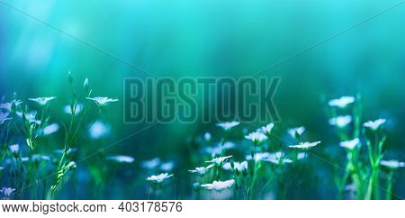 Natural Blurred Background. White Flowers On A Beautiful Green And Blue Background Macro. Floral Nat