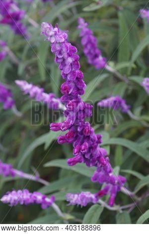 Mexican Bush Sage (salvia Leucantha). Called Velvet Sage Also
