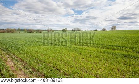 Shoots Of Wheat In The Fields. Landscape With A Wheat Field In Spring. Wheat Cultivation In Russia.