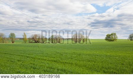 Wheat Cultivation In Russia. Shoots Of Wheat In The Fields. Landscape With A Wheat Field In Spring.
