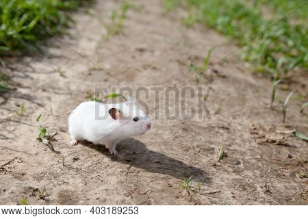 White Hamster Walking. Domestic Hamster On The Outside, Close-up.