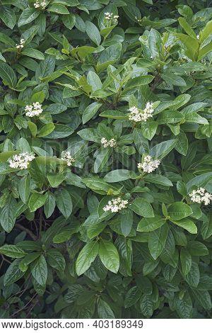 Winterthur Smooth Viburnum In Blossom (viburnum Nudum 'winterthur')