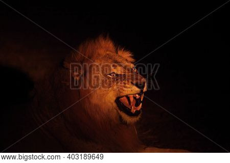 A Lion Male (panthera Leo) Lying In Dry Grassland And Looking For The Rest Of His Pride In Dark Nigh