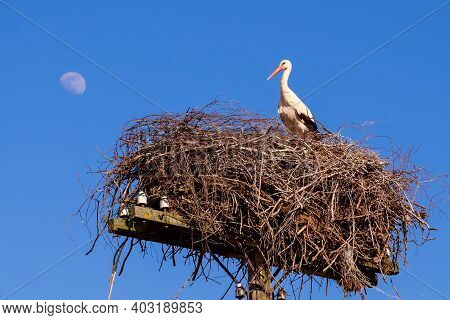 White Stork In A Nest In Spring Against A Clear Blue Sky