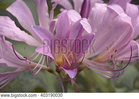 Surprise Lily (lycoris Squamigera). Called Resurrection Lily Also