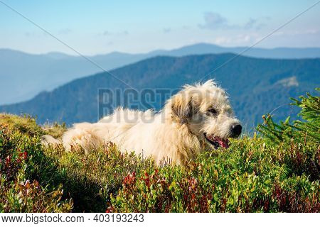 Shepherd Dog Rest On The Hill. Cute Animal In Summer Mountain Landscape On A Sunny Day. Good Old Fri