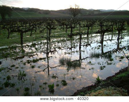 Water In The Vineyard 1