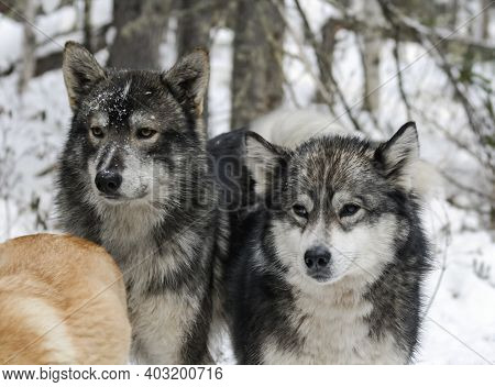 Native Siberian Hunting Dogs Or East Siberian Huskies In The Snowy Forest. Two Hunting Sled Dogs Or