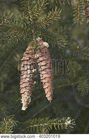 Japanese Bush Spruce (picea Maximowiczii). Called Maximowicz's Spruce Also