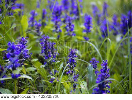 Ajuga Reptans, Or Carpet Horn, Is A Blue-flowered Perennial Plant That Grows In Mediterranean Meadow