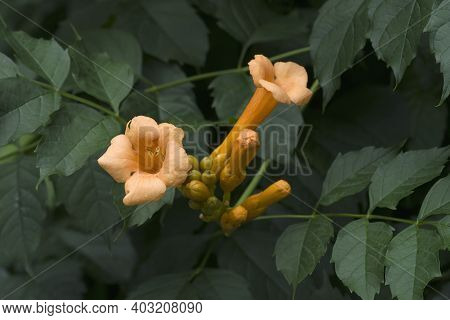 Trumpet Vine (campsis Radicans). Called Trumpet Creeper, Cow Itch Vine And Hummingbird Vine Also