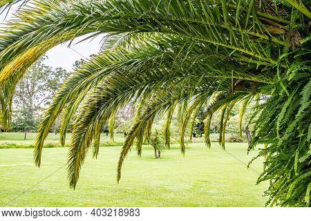 Palm Tree Canopy Over Green Grass - Closeup