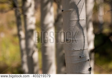 Close Up Of White Aspen Tree Trunk In Nevada Forest