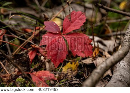 Deep Red Leaves Emerge From The Forest Floor In Indiana Dunes National Park In Fall