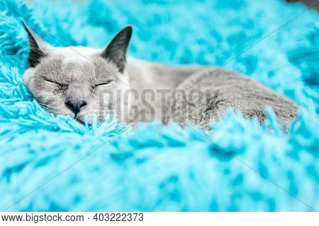 Lovely Grey Cat Sleeping Deeply In Its Blanket. Portrait Photography.