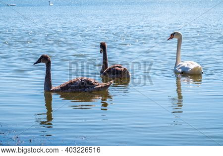 A White Mute Swan With Orange And Black Beak And Young Brown Coloured Offspring With Pink Beak Swimm