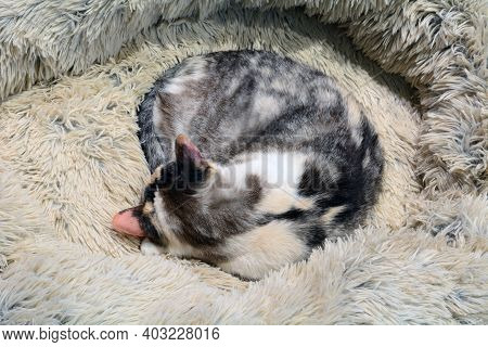 Dilute Calico Cat Curled Up And Sleeping In Soft Warm Fuzzy Cat Bed