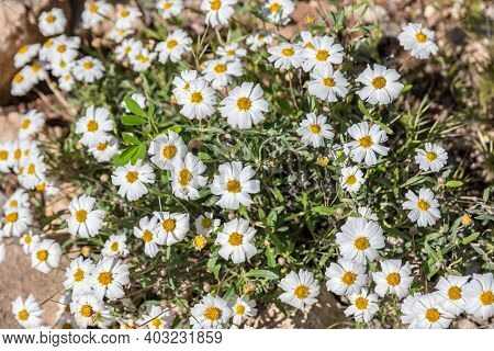 A White Wildflowers In Boyce Thompson Arboretum Sp, Arizona