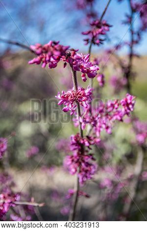 A Red Violet Wildflowers In Boyce Thompson Arboretum Sp, Arizona