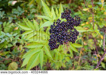 Black Danewort Or Sambucus Ebulus Berries Close-up