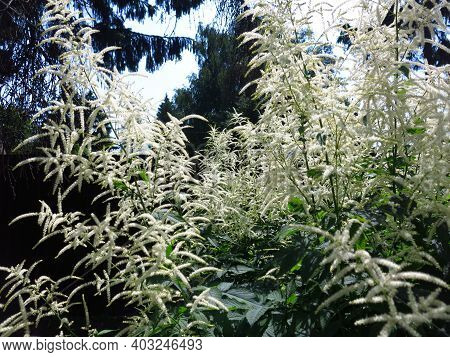 Volzhanka Dioecious (aruncus Dioicus) - An Unusual And Very Decorative Perennial Plant Blooms In Sum