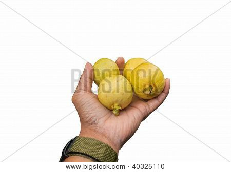 Ripe Wild Guavas In Hand Isolated Against A White Background