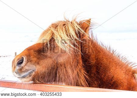 Portrait Of A Beautiful Icelandic Horse On The Background Of Winter Nature In Iceland. Icelandic Hor