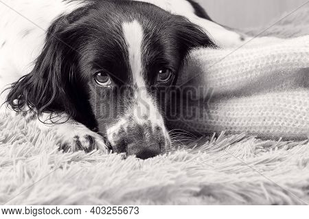 Bored, A Russian Spaniel Dog Warms Up Under A Warm Knitted Sweater.