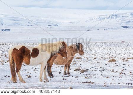 Beautiful Icelandic Horses On The Background Of Winter Nature In Iceland. Icelandic Horse On The Bac