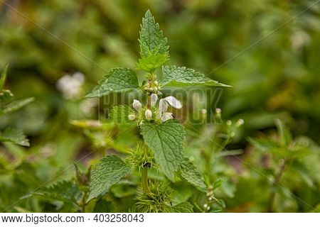 Nettle Dioecious. Photo Of The Nettle Plant. Nettle With Fluffy Green Leaves And Flowers. Medicinal