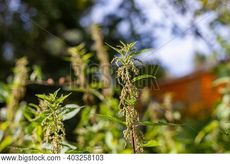 Nettle Dioecious. Photo Of The Nettle Plant. Nettle With Fluffy Green Leaves And Catkins. Medicinal