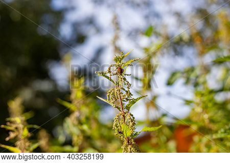Nettle Dioecious. Photo Of The Nettle Plant. A Snail Sits On A Nettle Bush With Fluffy Green Leaves