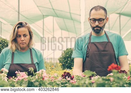 Concentrated Florists Working With Potted Flowers In Greenhouse. Professional Gardeners In Black Apr