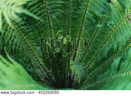 A Young Fern. Macro Photography Of Green Fresh Fern Petals. Beautiful Fern Leaves, Natural Floral Ba