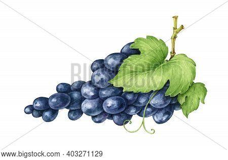Black Grape Bunch Watercolor Illustration. Realistic Ripe Organic Purple Grape Heap. Delicious Dark