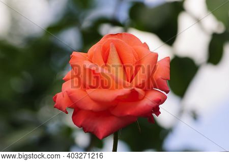 A Close-up Of One Large And Delicate Bright Yellow-orange Rose In Full Bloom In A Summer Garden, In