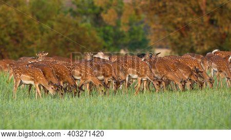 Fallow Deer Herd Feeding On Pasture In Spring Nature