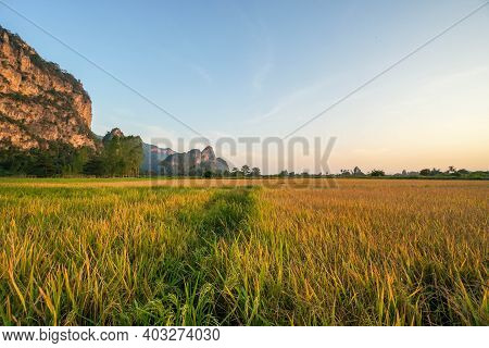 Golden Rice Paddy Farm For Harvest In Sunset Time With Mountain View