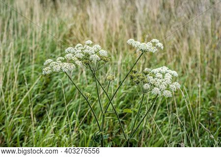Closeup Of Seed And White Flowers Of Common Hogweed Uncultivated Growing In The Wild Dutch Nature. S