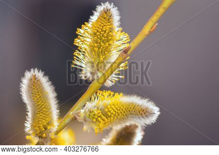 Fluffy Willow Buds. Willow Kittens. Willow Branches With Soft Fluffy Buds. Natural Spring Background