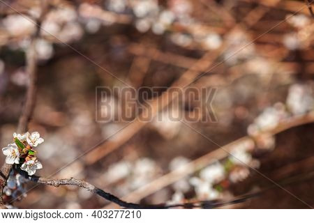 Blurred Background With Bokeh For Your Design. Natural Pastel Brown Background. Felt Cherry Flowers.