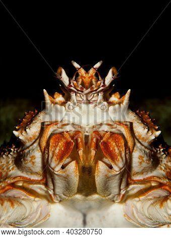 Japanese Spider Crab Or Giant Spider Crab, Macrocheira Kaempferi, Adult, Close-up Of Head, Underside