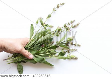 Mens Hand Holding Bouquet Salvia Officinalis.white Background. The Plant Is Used Not Only As A Medic