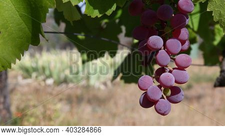 Large Bunch Of Red Wine Grapes Hang Between Green Leaves With Blurred Background And Copy Space. Vit
