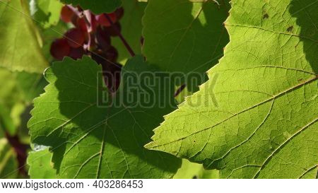 Sunlight On Jagged Edges And Leaf Veins Against Blurred Background Of Grape Bunch And Green Foliage.