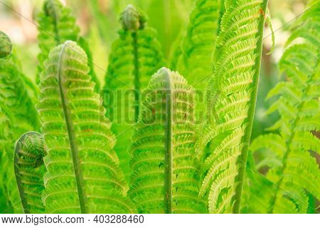 Young Green Fern Leaves Unfold And Grow.