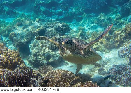 Sea Turtle In Blue Water. Close Up Sea Photo. Cute Sea Turtle In Blue Water Of Tropical Sea. Green T